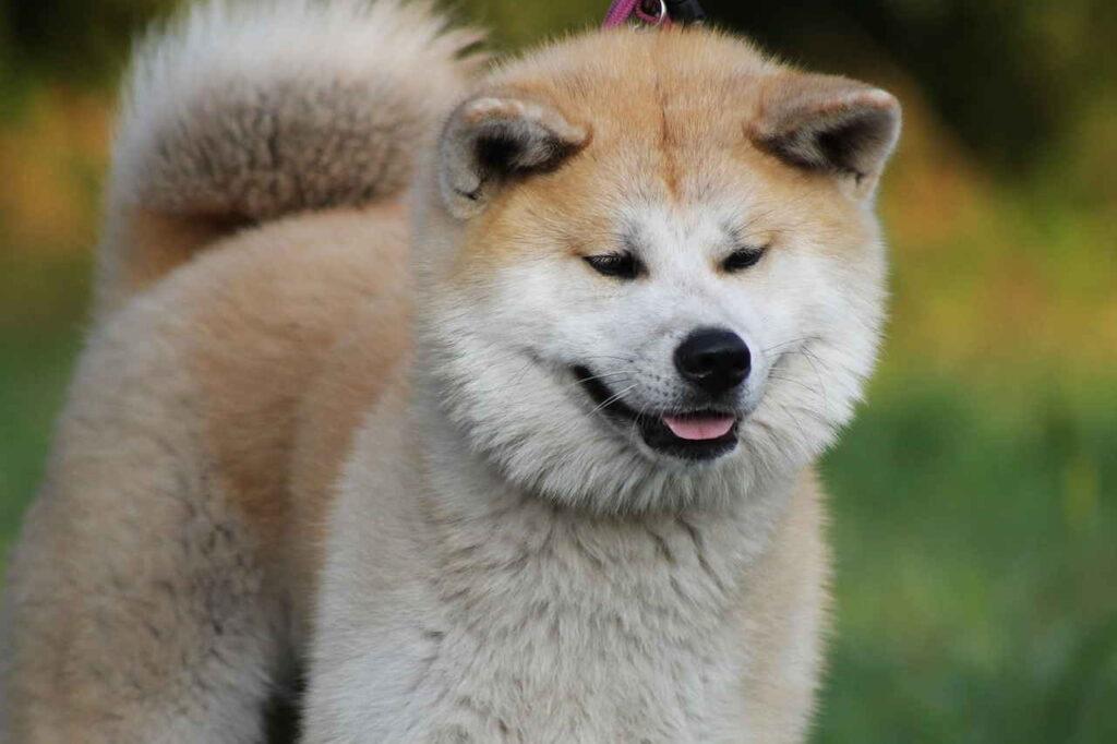 Акита, Акита-Ину, Японская Акита, Собака