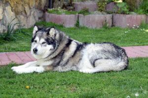 Аляскинский Маламут, Маламут, Собака