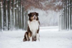 Австралийская Овчарка, Собака, Снег, Домашнее Животное
