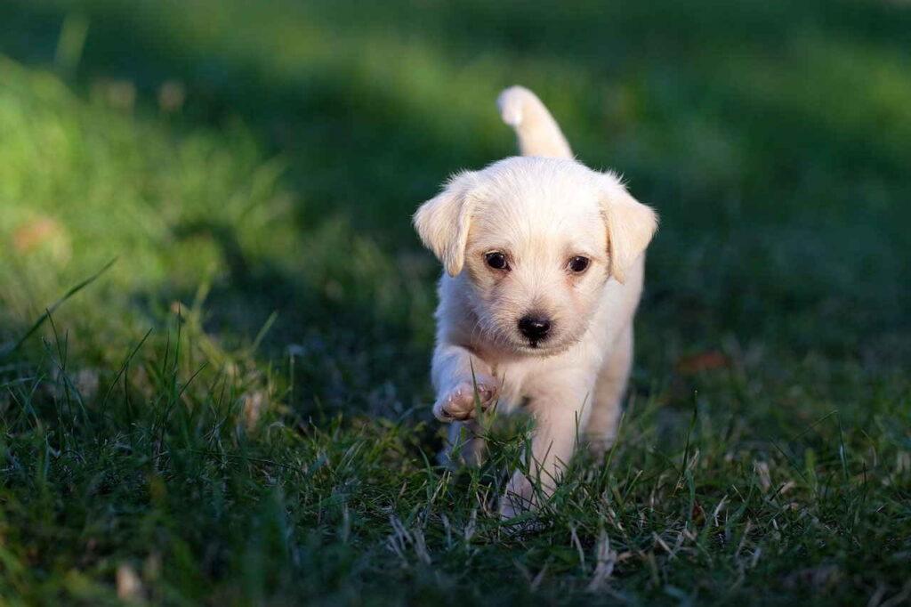 Собака, Животное, Щенок, Милый, Молодой, Песик