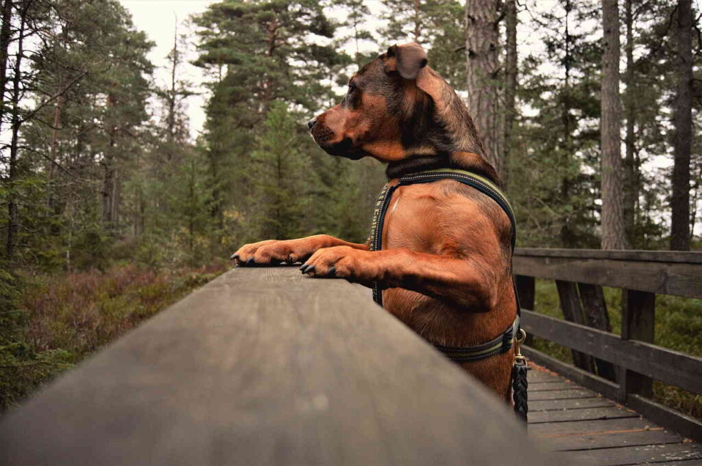 Дерево, Собака, Парк, мост