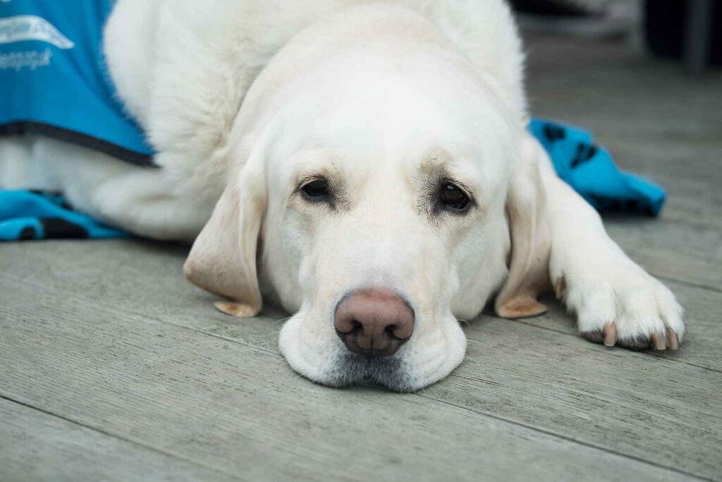 Собака, Милый, Домашнее Животное, Животных Лаборатория