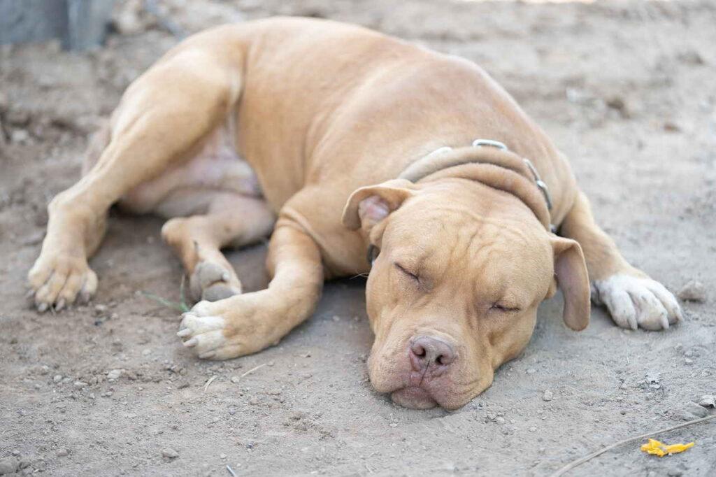 Бойцовские породы собак, американский питбультерьер, Домашнее Животное, Собака, Щенок Милый